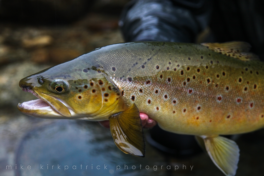 Trout close up with beautiful spots